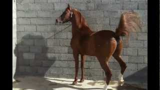 getlinkyoutube.com-الفحل الحصان جلمود الخامس مصري بولش.wmv