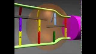 getlinkyoutube.com-الية تركيب بروتين في الخلية - الاستنساخ و الترجمة