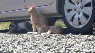 getlinkyoutube.com-野良猫駆除業者に連れていかれたお母さんの帰りを待つネコたちその後・・・