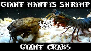 getlinkyoutube.com-Giant Smashing Mantis Shrimp VS Giant Crabs