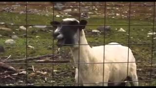 getlinkyoutube.com-Heavy Metal Screaming Goat Remix Compilation