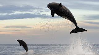 getlinkyoutube.com-【驚異の瞬間】シャチがイルカを捕獲する迫力の瞬間