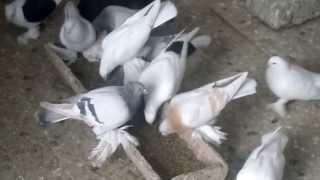 Домашние голуби Костанай 2014г (2)