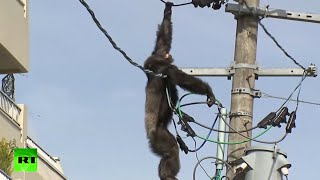 getlinkyoutube.com-Dramatic high-altitude chase as chimp goes on the loose in Japan