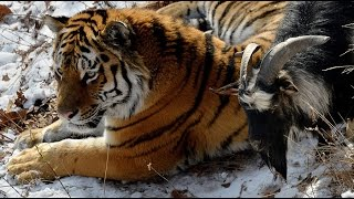 getlinkyoutube.com-Russian tiger befriends brave goat instead of eating it