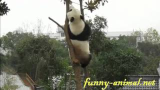 getlinkyoutube.com-Kung Fu panda climbing up tree and playing 功夫熊猫表演爬树绝技