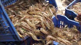 getlinkyoutube.com-Shrimp Fishing | Prawns Fishing | Prawns Catching Videos