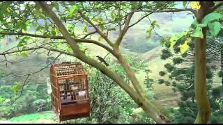 getlinkyoutube.com-Canto e briga do pássaro trinca ferro