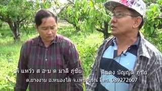 getlinkyoutube.com-การแต่งกิ่งมะม่วง แบบสมดุล Pruning Mango