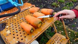 Как вырастить урожайную морковь