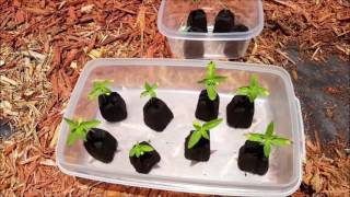 getlinkyoutube.com-Outdoor Planting of Autoflowers 2016