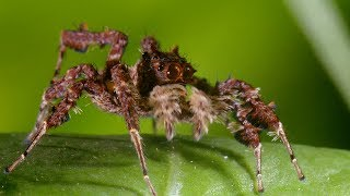 Spider With Three Super Powers | The Hunt | BBC Earth width=