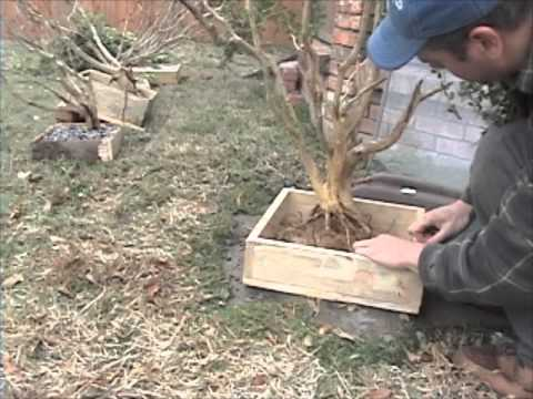 Boxing up a boxwood - urban yamadori bonsai