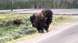 getlinkyoutube.com-Yellowstone bison rams a minivan.m4v