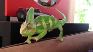 getlinkyoutube.com-The routine of a Chameleon