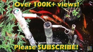 getlinkyoutube.com-Sunny's Wildlife Koi Pond with hand made Shishi Odoshi fountains 2010