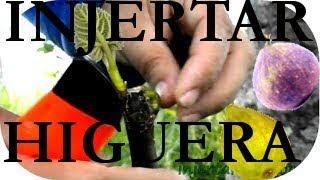 getlinkyoutube.com-INJERTAR una HIGUERA, GRAFT a FIG TREE parte 2ª de 2