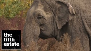 Zoo Elephants : The Elephant in the Room - the fifth estate