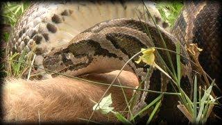 getlinkyoutube.com-Python eats Rabbit 01- Dangerous Animals