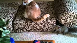 getlinkyoutube.com-Our Rescue Pet Chippy the Squirrel playing with the Cat