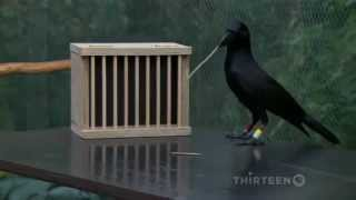 getlinkyoutube.com-How smart is a crow?