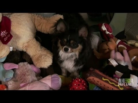 Heisting and Hoarding Chihuahua | Bad Dog!