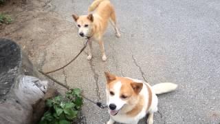 getlinkyoutube.com-ヨロン島ビレッジの看板犬ケンとマーゴ