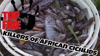getlinkyoutube.com-Top 5 Killers Of African Cichlids