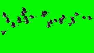 getlinkyoutube.com-flock of birds flying past sparrows over cornfield and green screen