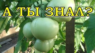 Как заставить томаты краснеть?