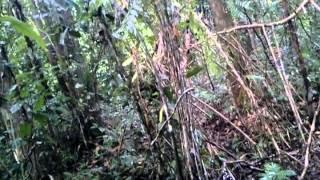 getlinkyoutube.com-Murai batu alam (Di aceh singkil)