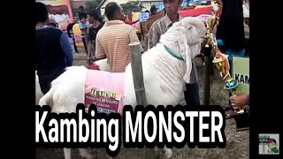 getlinkyoutube.com-KAMBING MONSTER ETAWA SENDURO  24 - 25 mei 2015 lumajang part 1