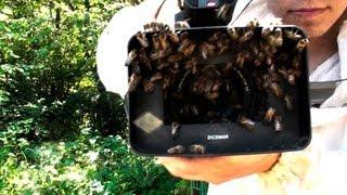 Сбор дикого роя пчел