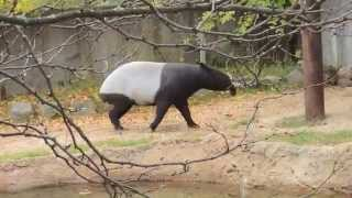 Entertaining Playful Malayan Tapir