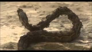 getlinkyoutube.com-Serpiente vs Hormigas Subhana'Llah Snake vs Ants Subhana'Llah