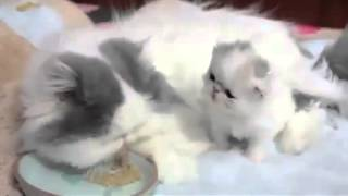 getlinkyoutube.com-Приколы с белыми котятами