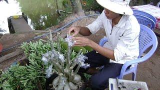 getlinkyoutube.com-Kỹ thuật ghép sứ Thái & kỹ thuật trồng sứ (Nguồn video: anh Văn Công Mai)