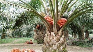 getlinkyoutube.com-cara cepat meningkatkan hasil panen, rendemen kelapa sawit dan mempertahankannya