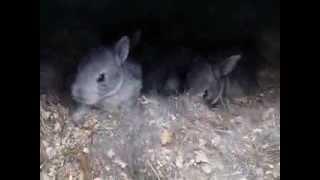 """getlinkyoutube.com-Осмотр """"норы"""" через 12 дней после окрола Клетка для кроликов """"Искусственная нора - вольера"""""""