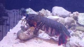 getlinkyoutube.com-Mantis shrimp vs crab in deadly fight!