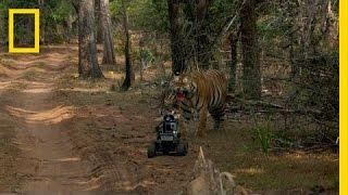 getlinkyoutube.com-Robot vs. Tiger | Nat Geo Live