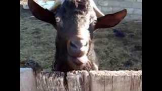 getlinkyoutube.com-Ржачный козёл в деревне смешно треплет языком :)