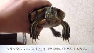 getlinkyoutube.com-ミドリガメの甲羅の皮を剥がす