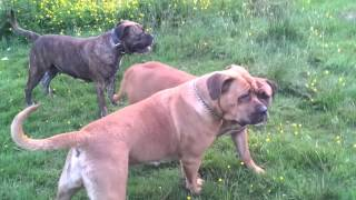 getlinkyoutube.com-Presa's. ,Boerboels and Bullmastiff at play