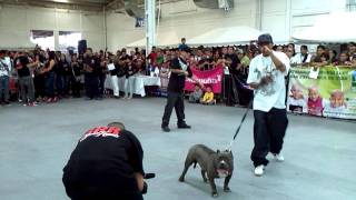 getlinkyoutube.com-Ckan pitbull expo