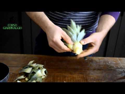 Come coltivare una pianta di ananas fai da te mania - Pianta ananas ...