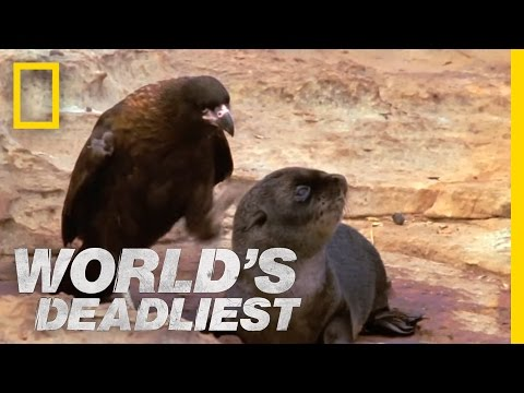 World's Deadliest - Bird of Prey Attacks Baby Seals