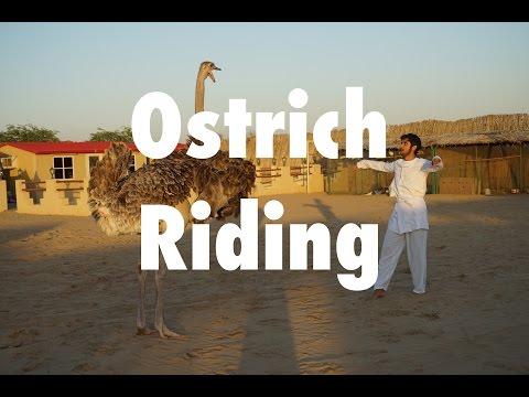 Ostrich riding fail - محاولة ركوب النعامة