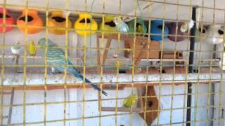 getlinkyoutube.com-How to make a colour full love birds cage