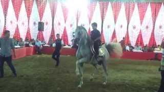 رقص خيول عربيه بهـيـر